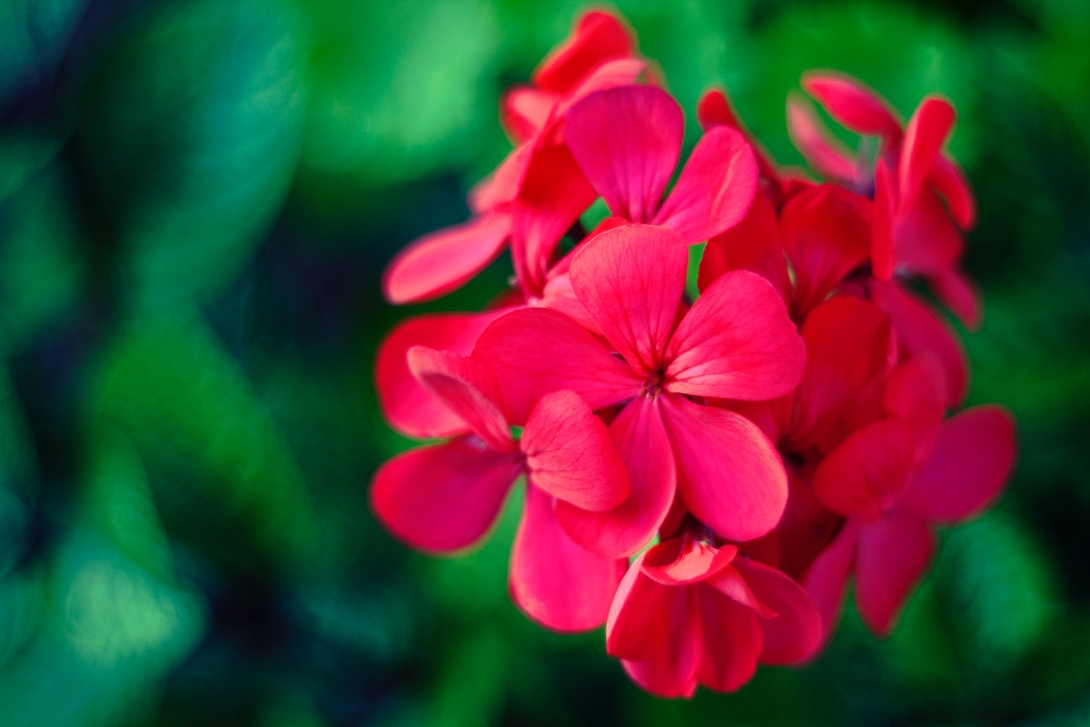 Close up of Geraniums flowers. Visit Kaboompics for more free images.