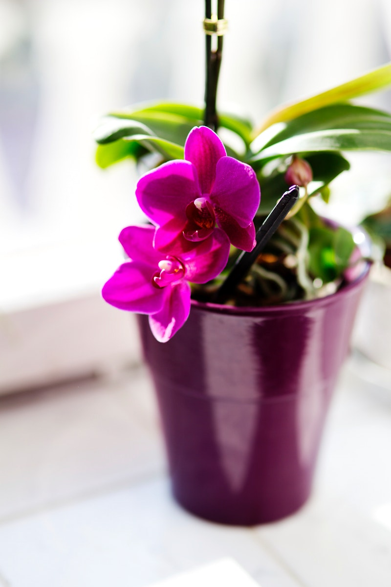 Pink Orchids in a pot. Visit Kaboompics for more free images.