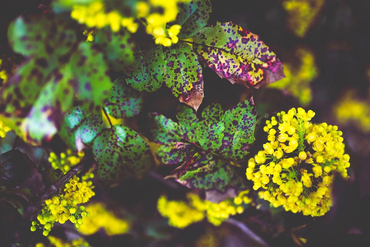 Mahonia aquifolium flowers. Visit Kaboompics for more free images.
