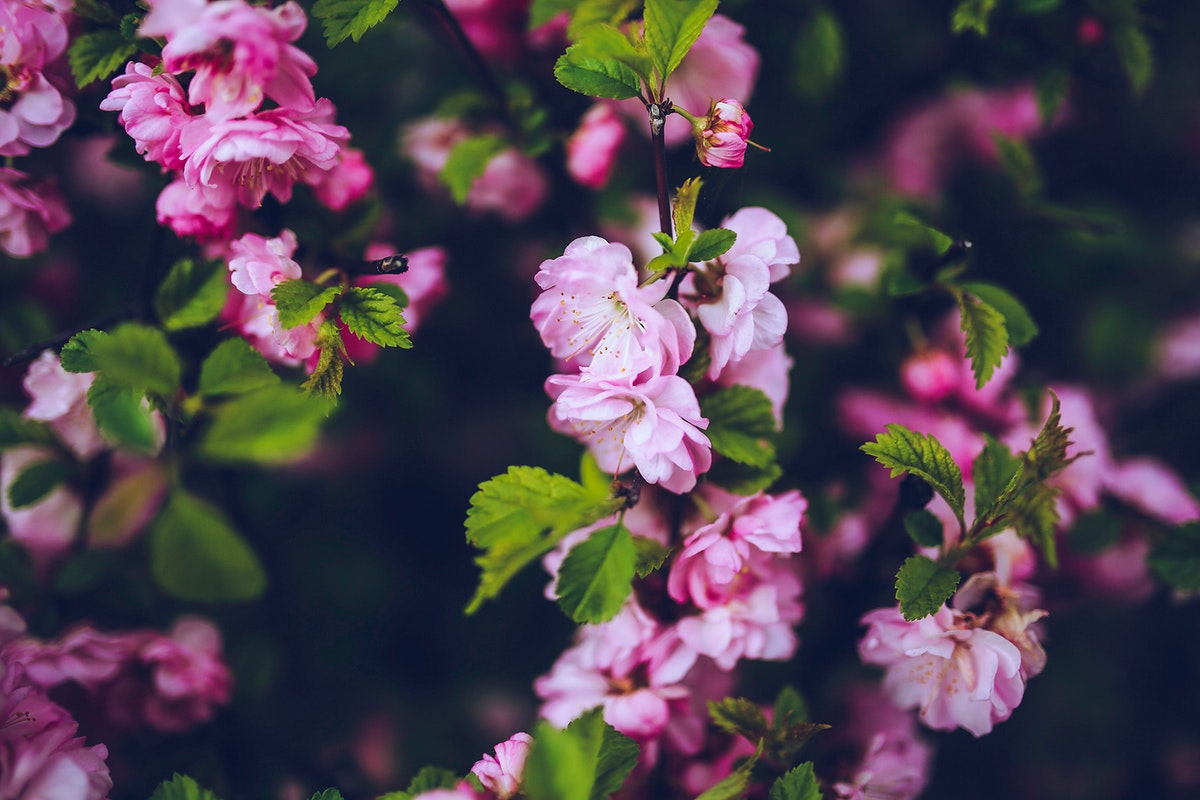 Pink flowers in bloom. Visit Kaboompics for more free images.