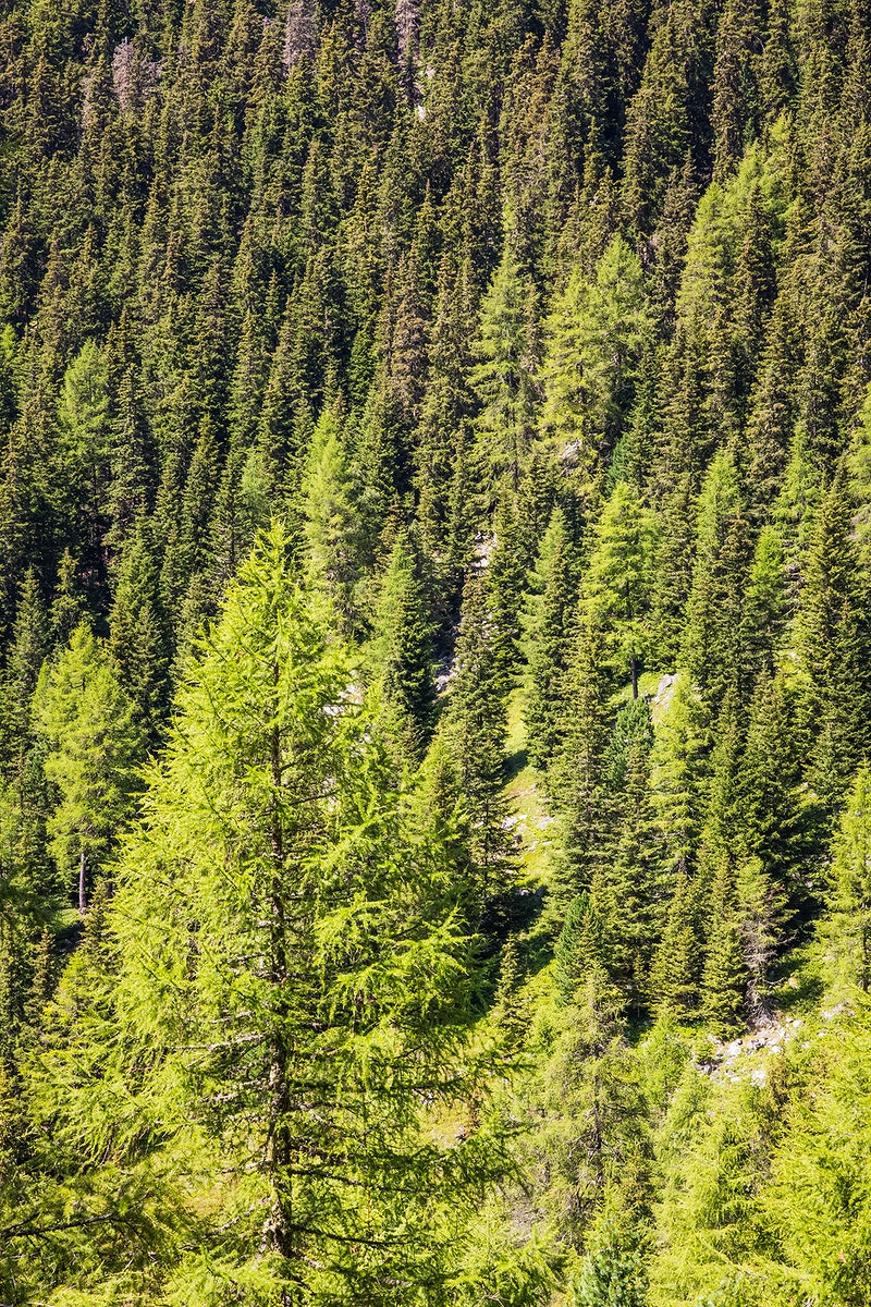 Pine forest in the Alps