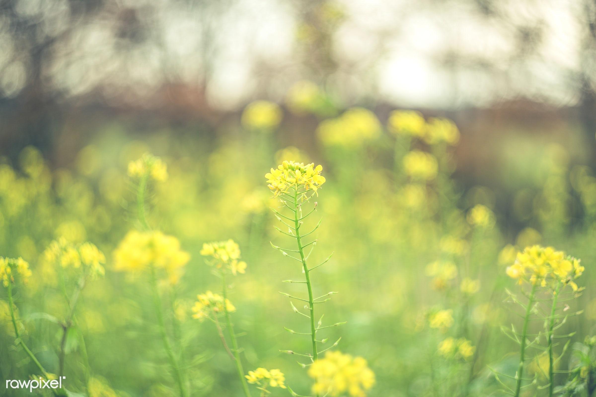 Field of yellow flowers mightylinksfo