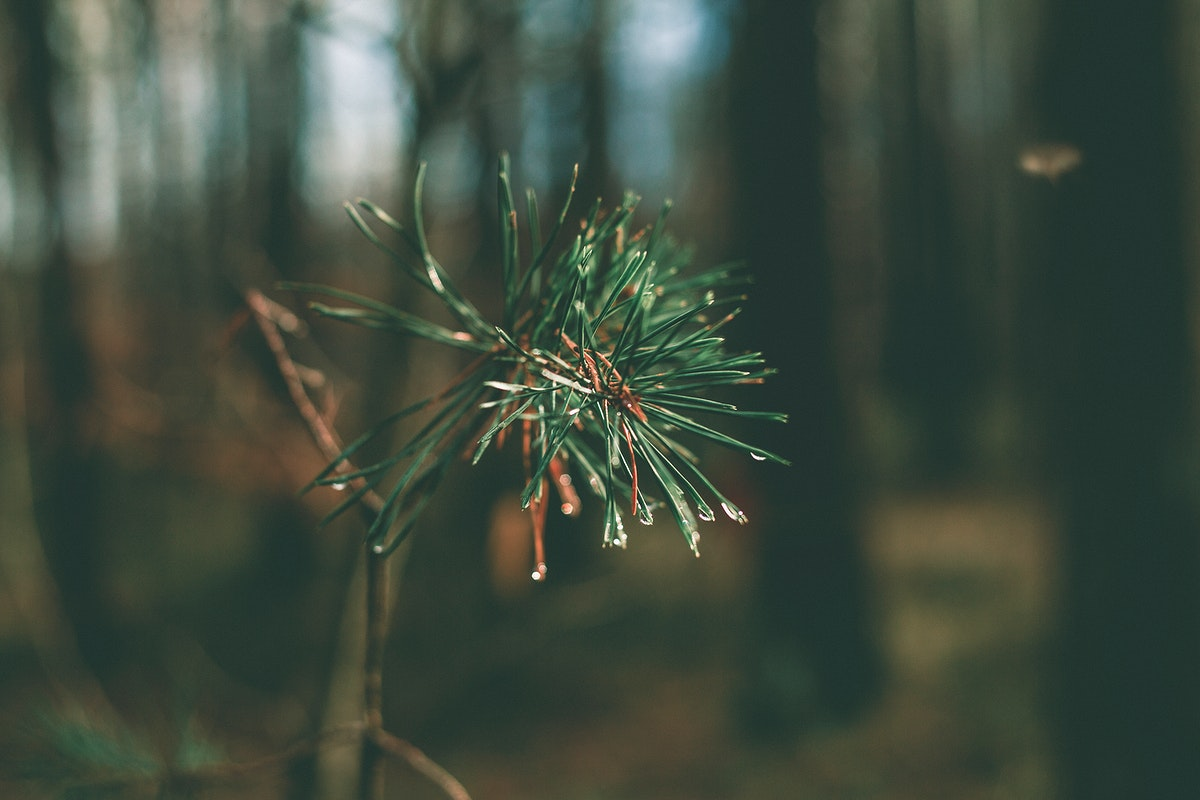 Pine tree branch with dew at the tips