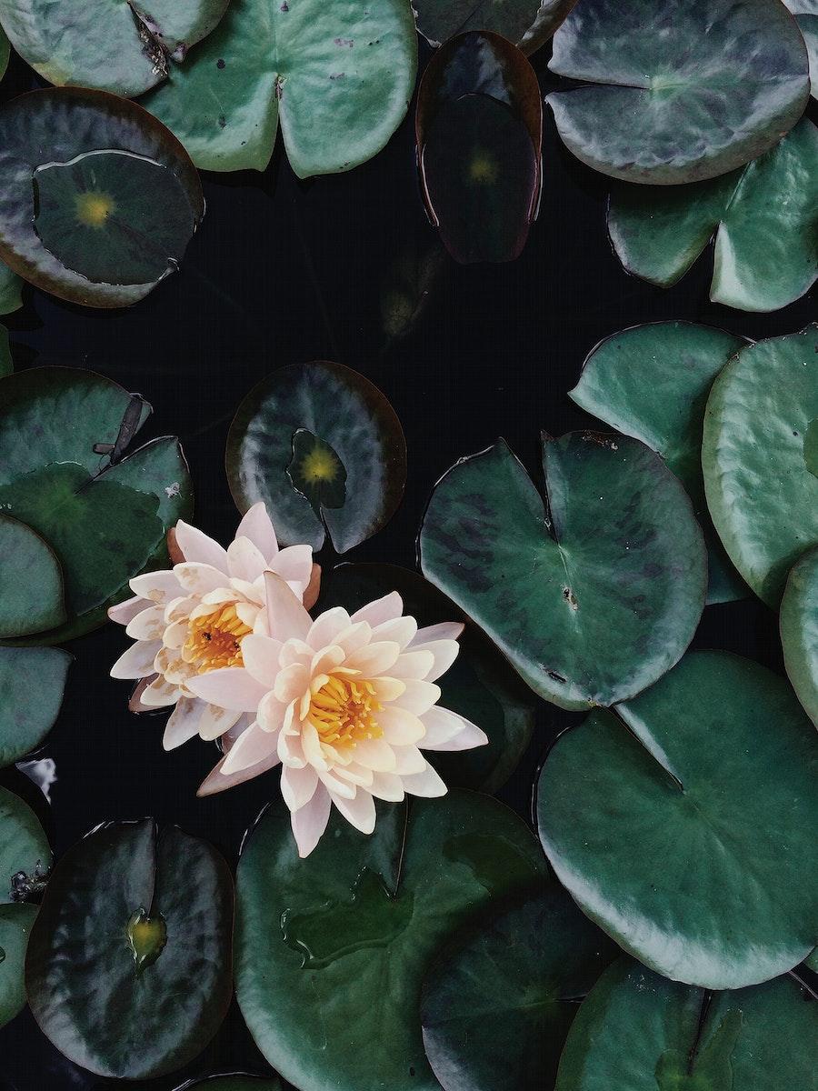 Lotus flowers on a pond