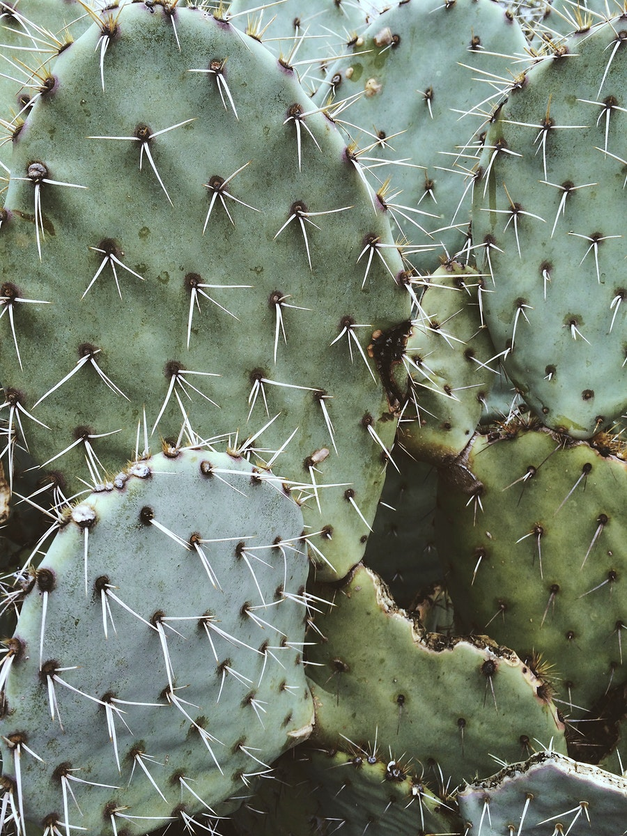 Close up of a prickly pear cactus