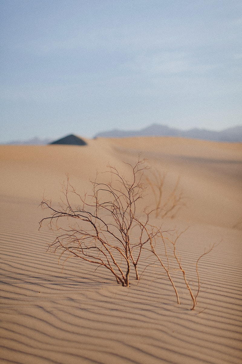 Desert plant growing out of windblown sand dune in the Death Valley