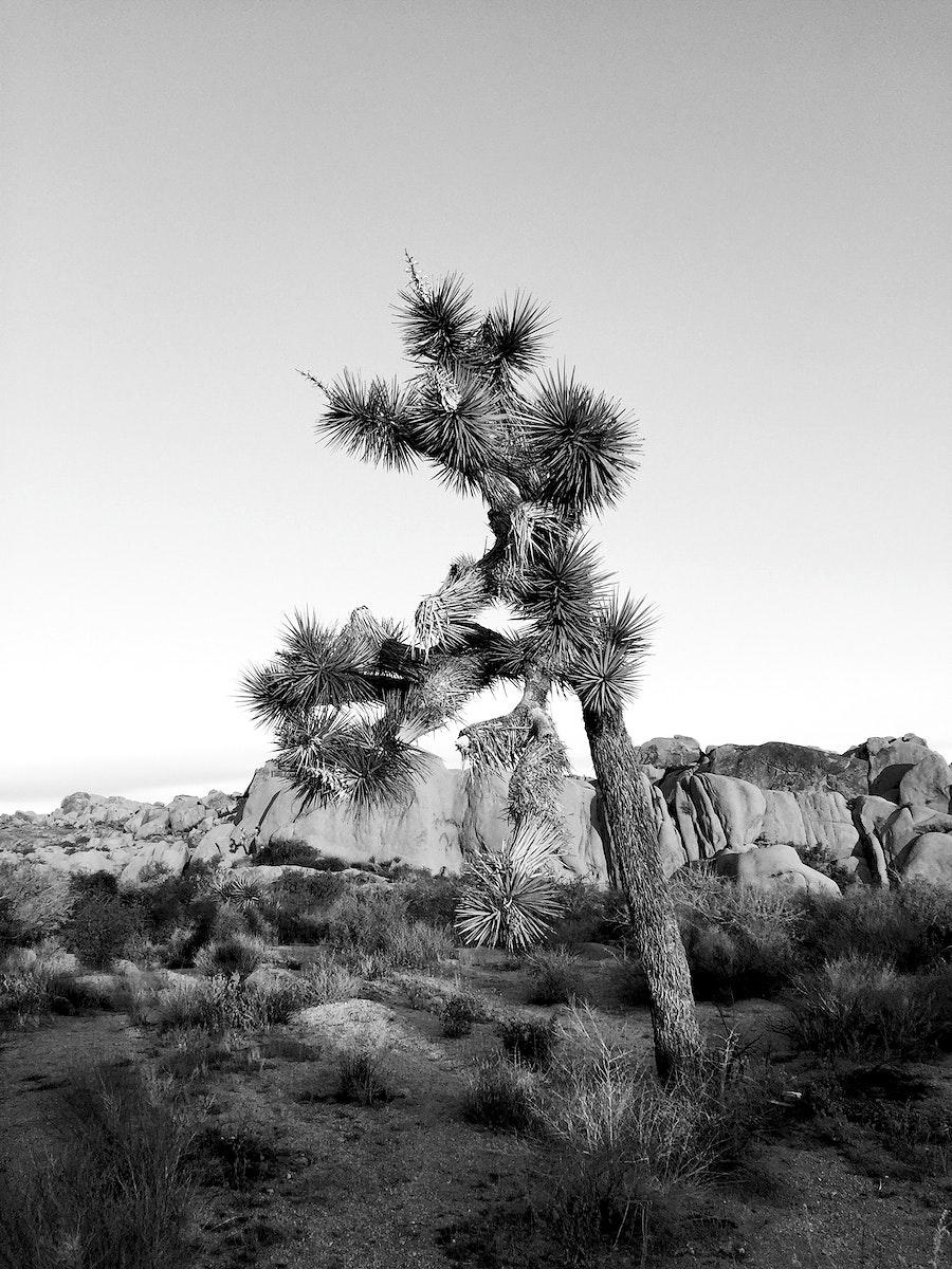 Joshua Tree in the Mojave Desert, United States