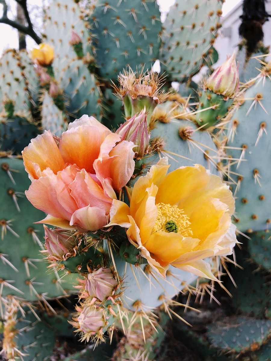 Blooming Opuntia Cactus in Arizona, United States