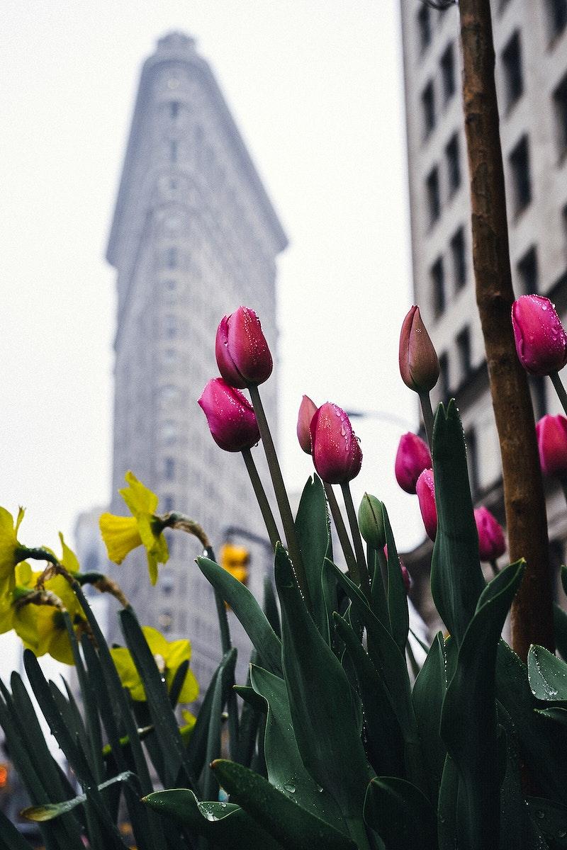 Tulips at Flatiron Building, New York, United States