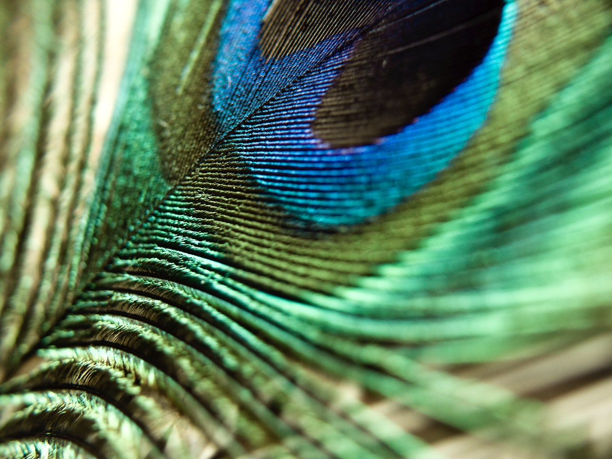 Macro shot of a colorful peacock feather