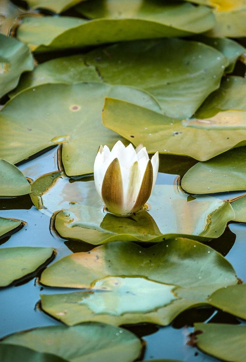 Unopened lotus flower bud