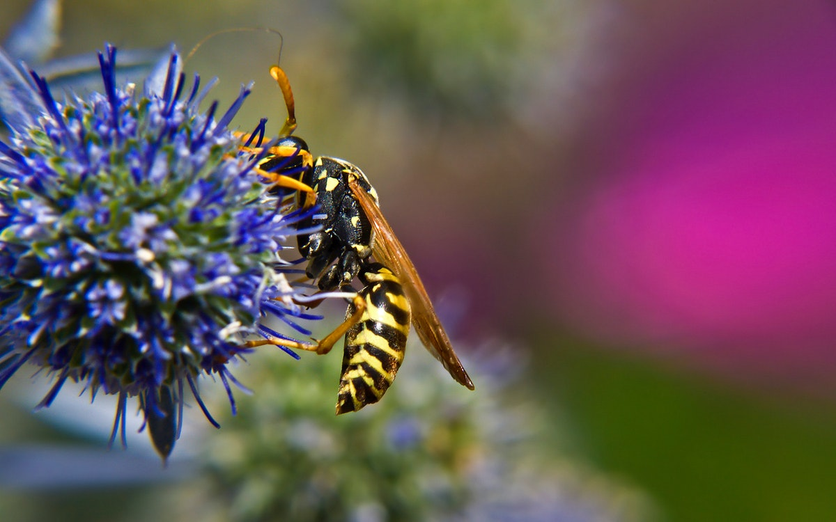 Yellow jacket wasp on a flower