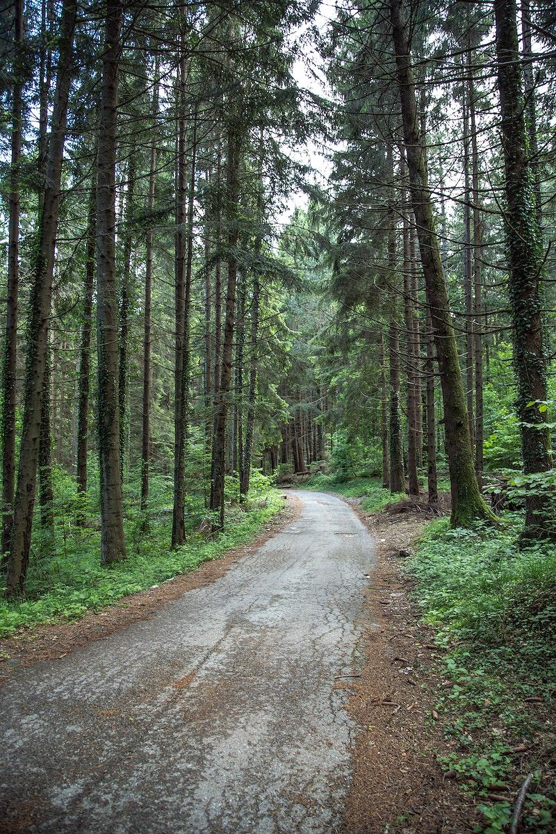 A narrow path through tall forest trees
