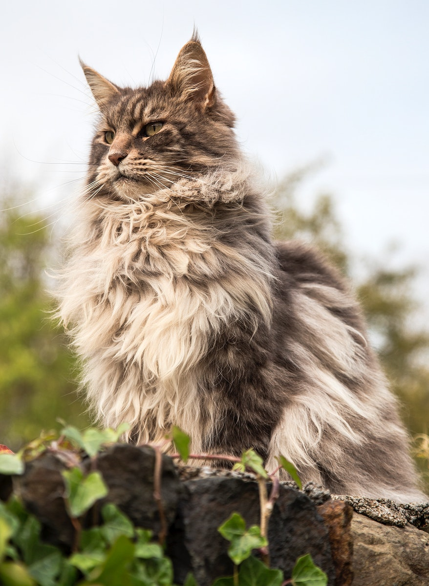 Domestic brown long haired cat