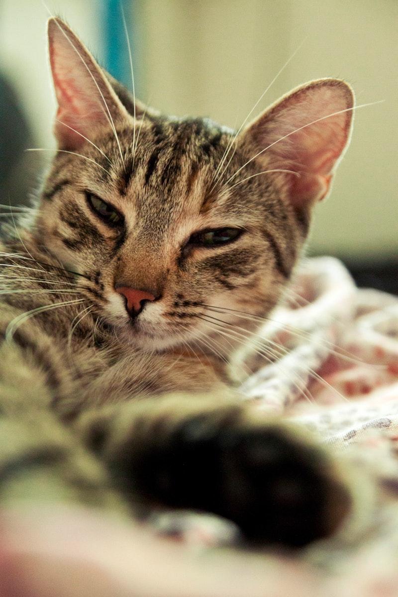 Sleepy domestic cat
