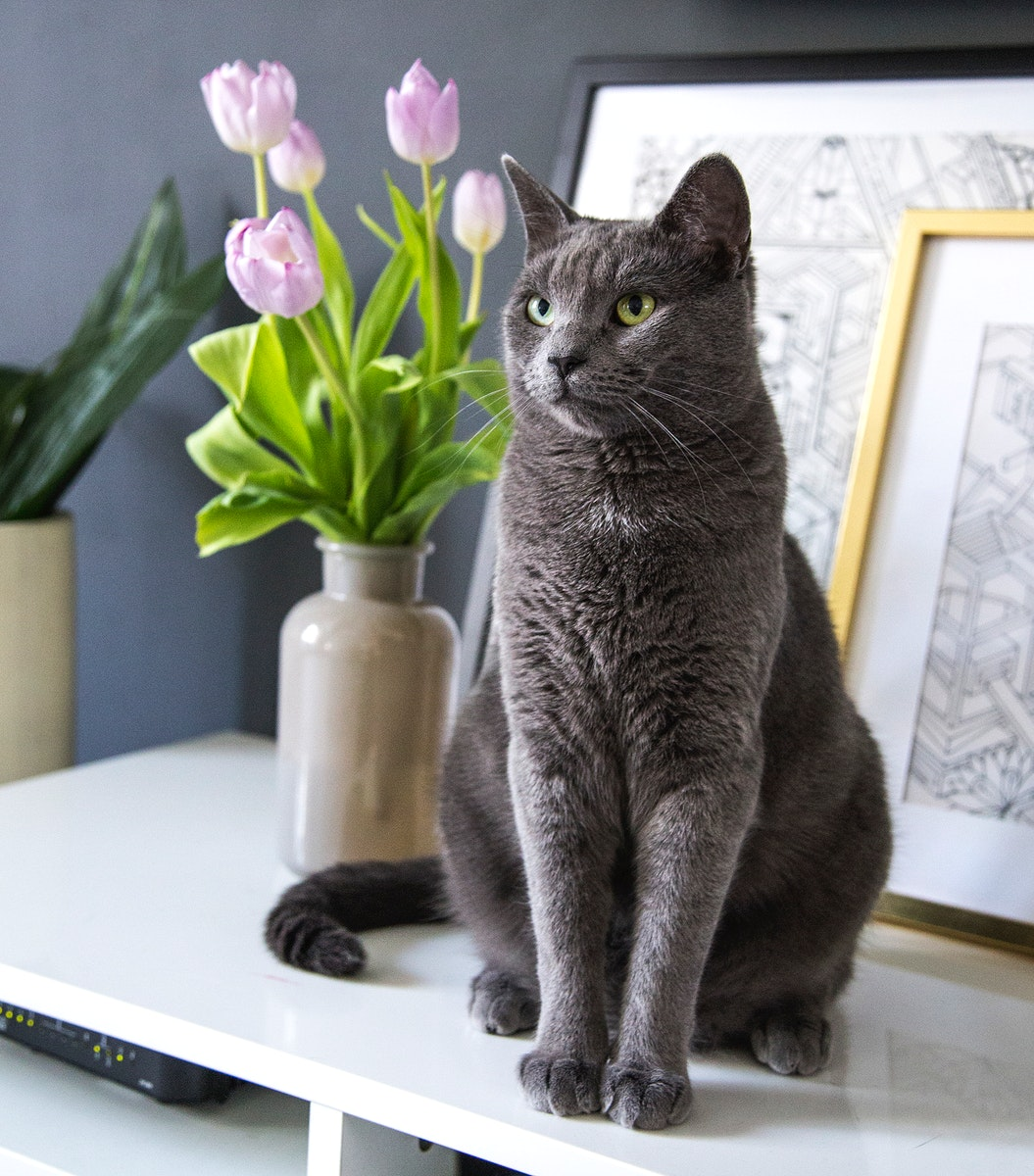 Grey domestic cat on a cabinet top