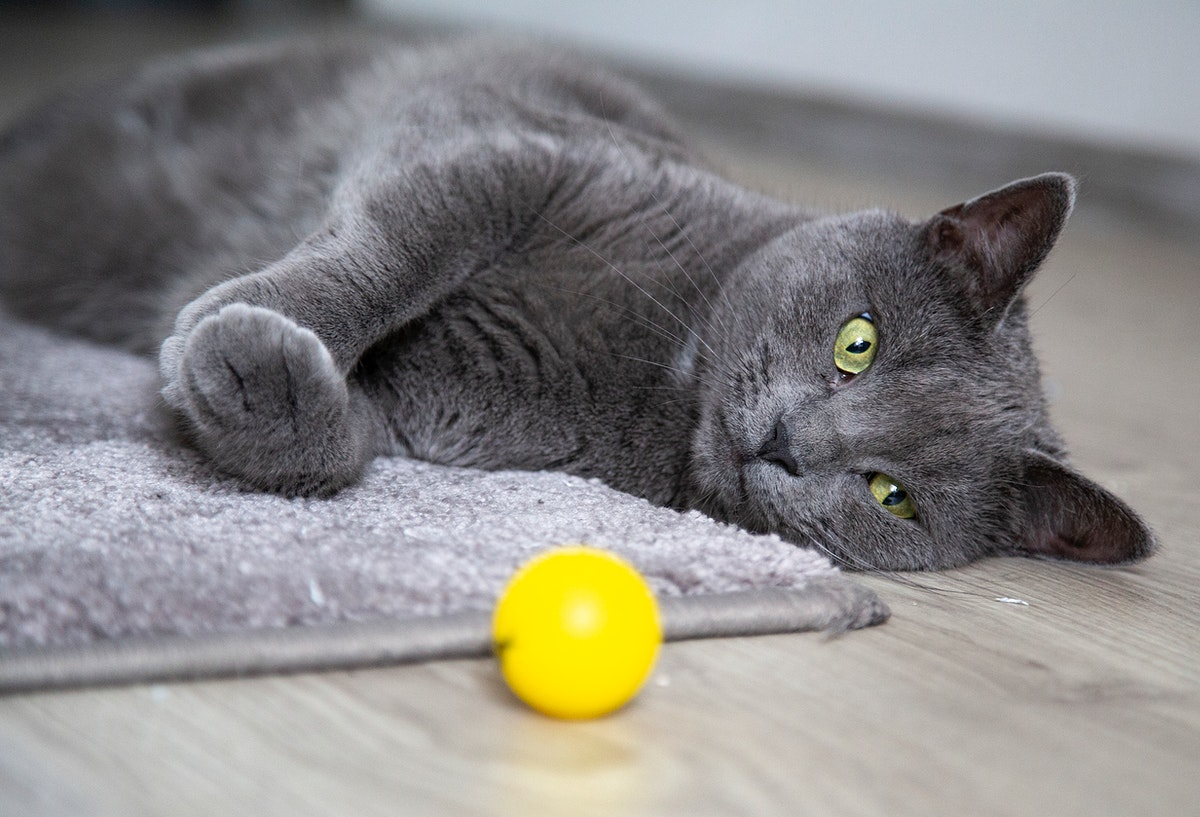 Grey domestic cat with a yellow ball on the floor