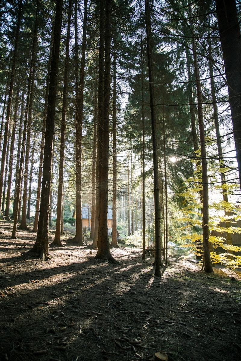 Sunlight passing through tall trees