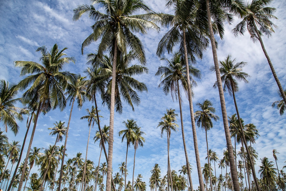 Coconut trees and a blue sky