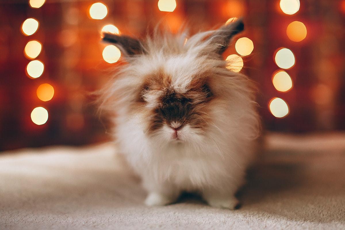 Lionhead rabbit with Christmas lights