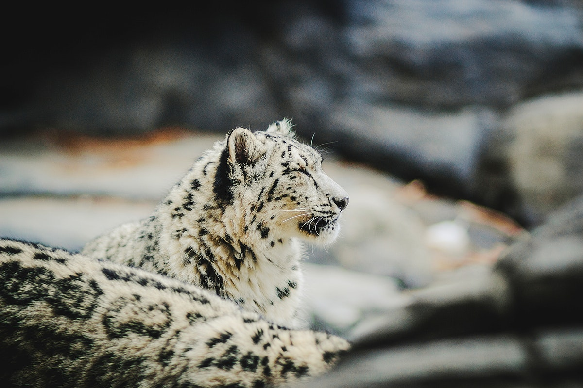 Snow leopard at a zoo