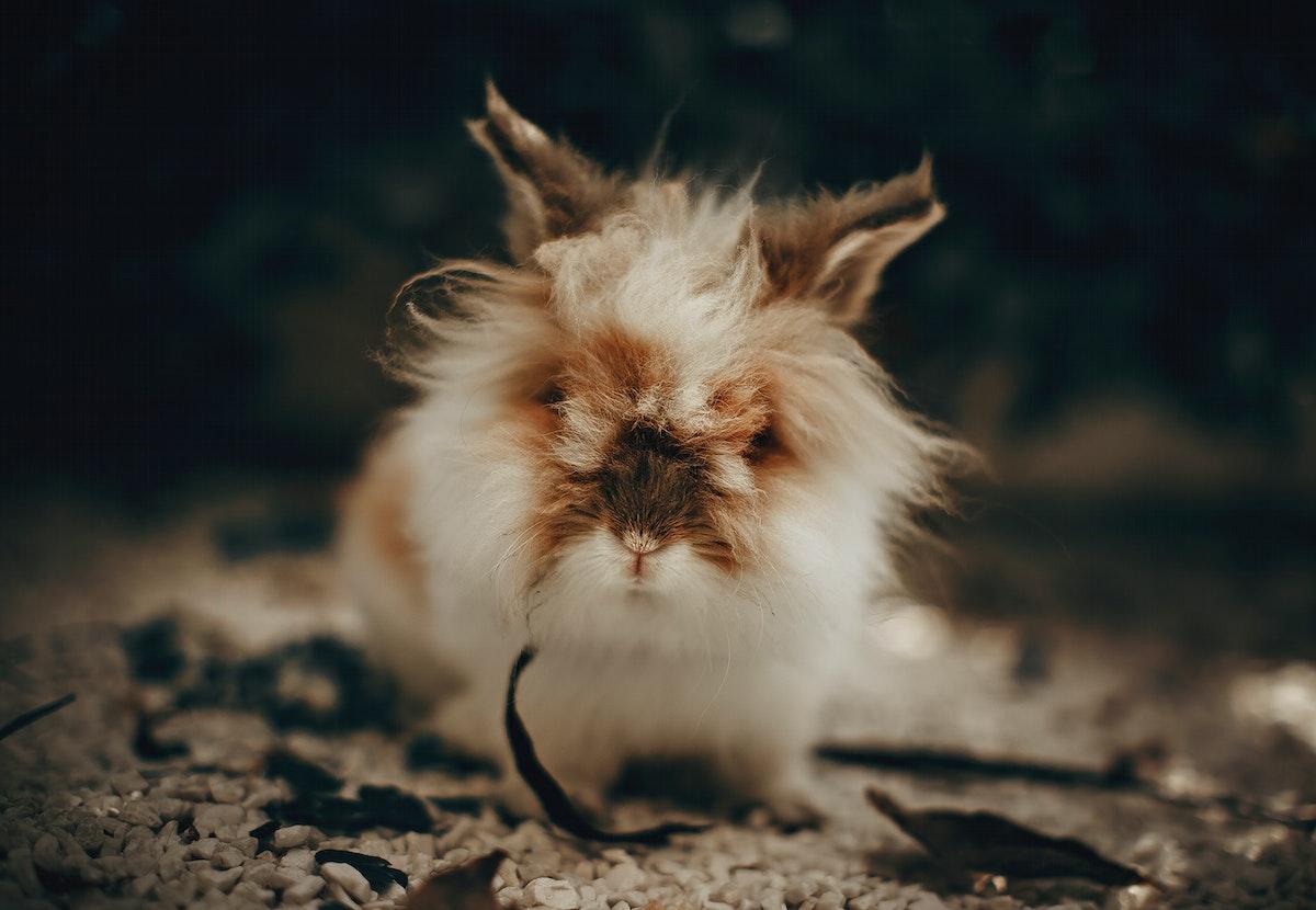 Cute and fluffy lionhead rabbit