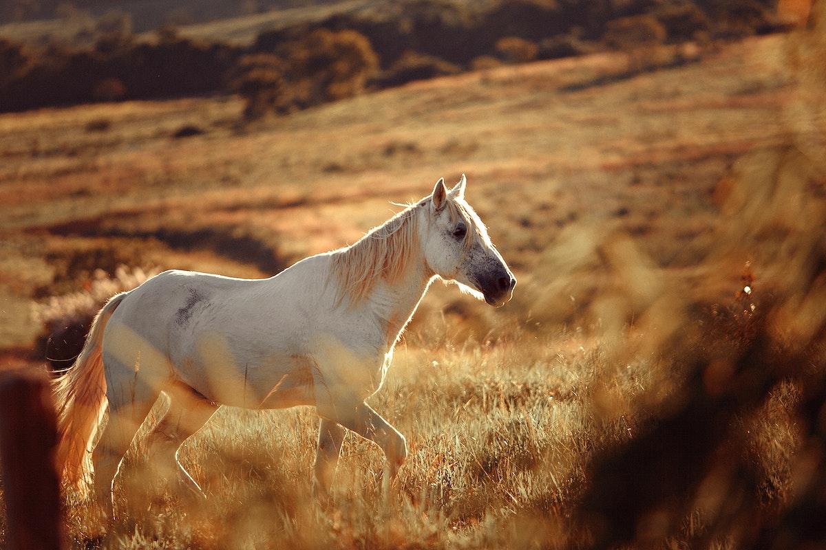 Horses in golden fields at Belo Horizonte, Brazil