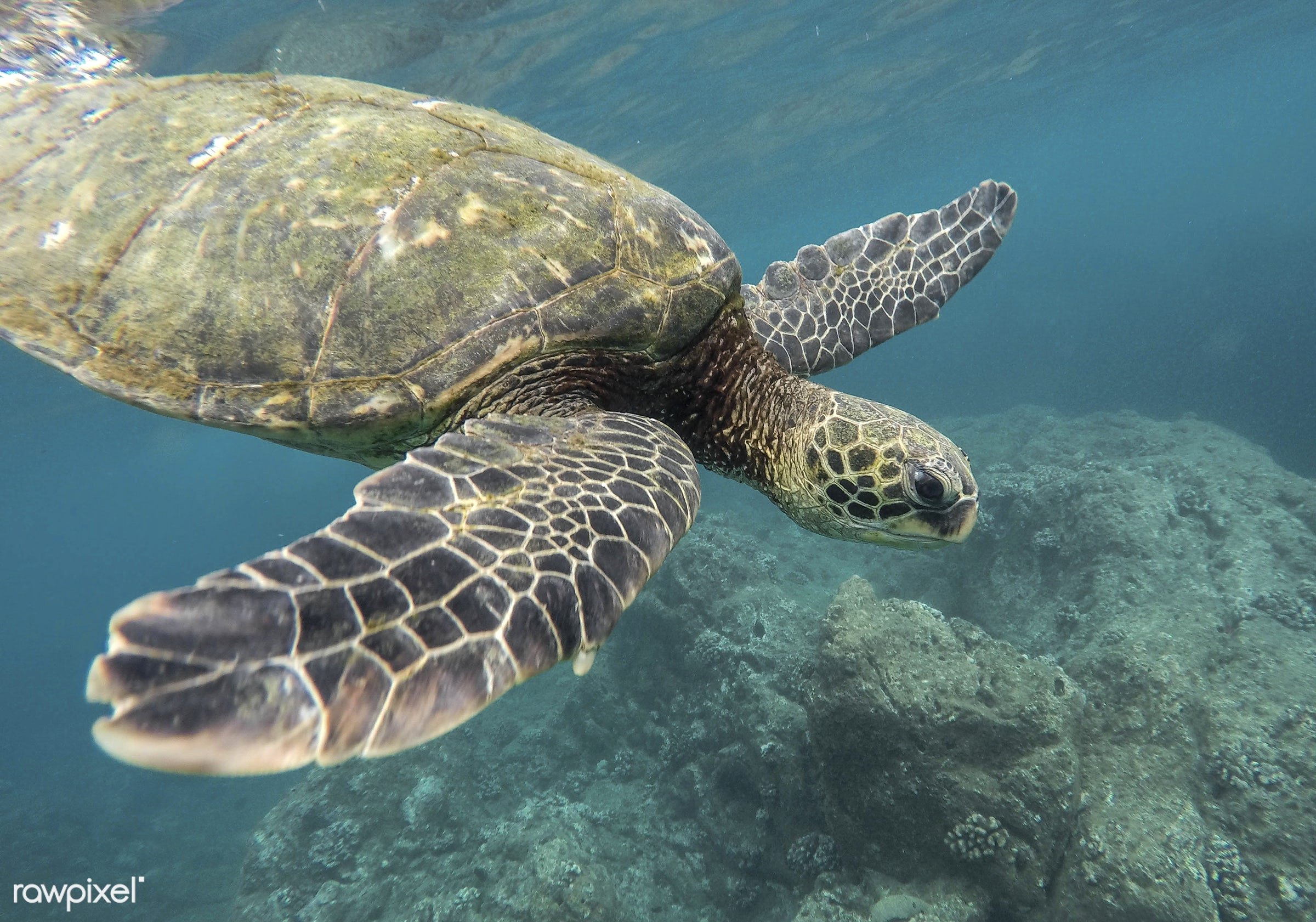 A turtle under the water in Oahu, Hawaii - america, animal, background, blue, clear, coast, diving, fins, hawaii, marine...