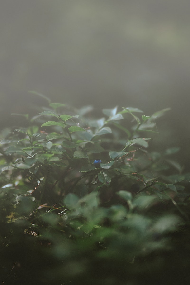 Blueberry tree in the fog
