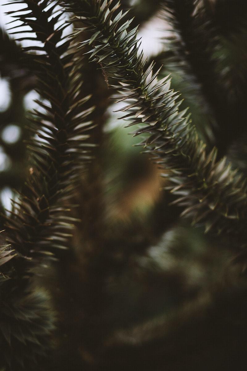 Prehistoric spruce