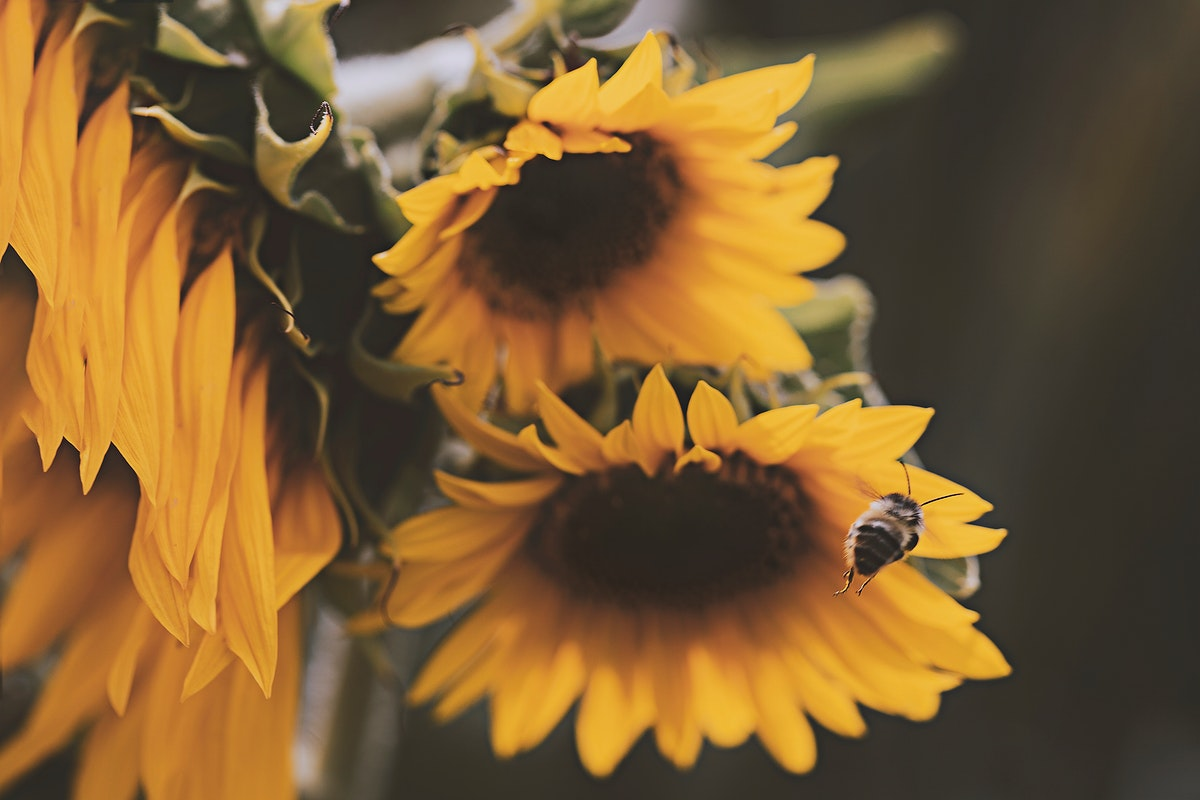 Close up of blooming sunflowers