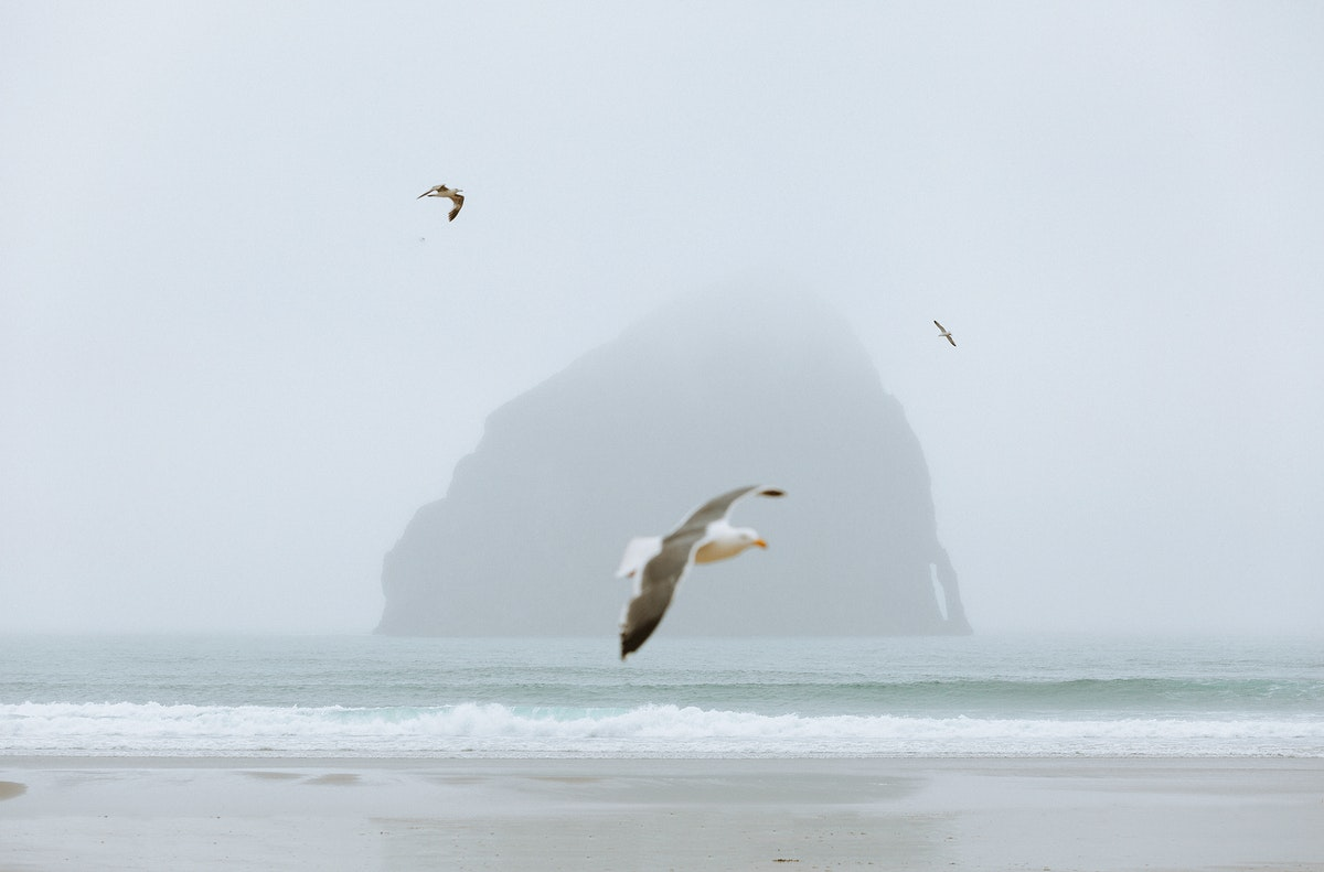 Terns flying over the Cannon Beach in Oregon, USA