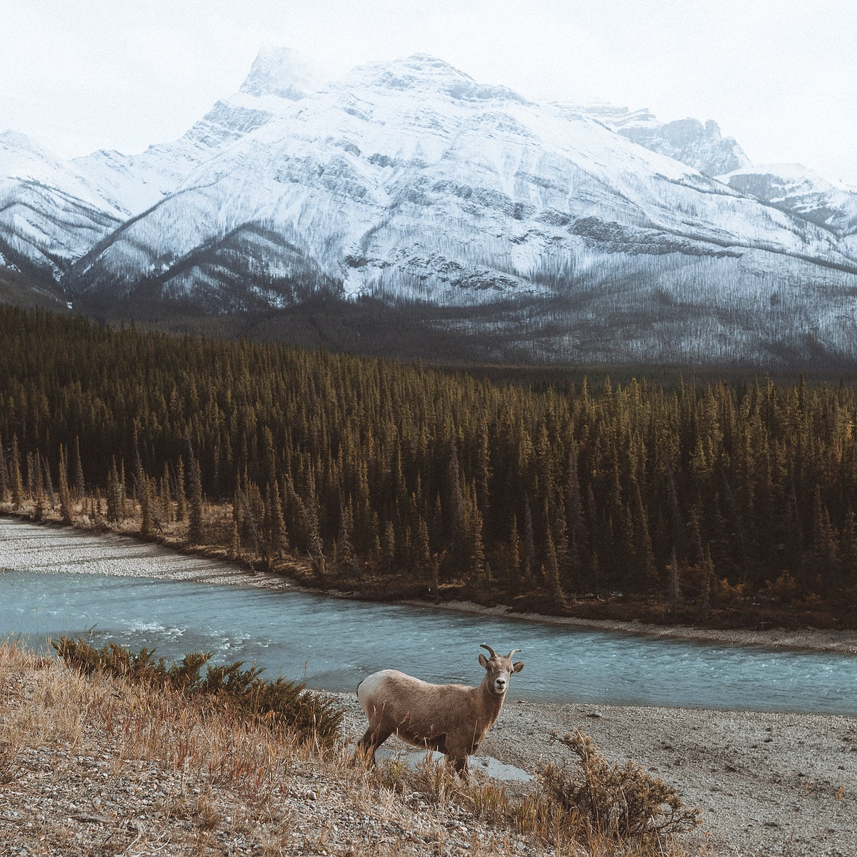 Goat by the hill in the forest