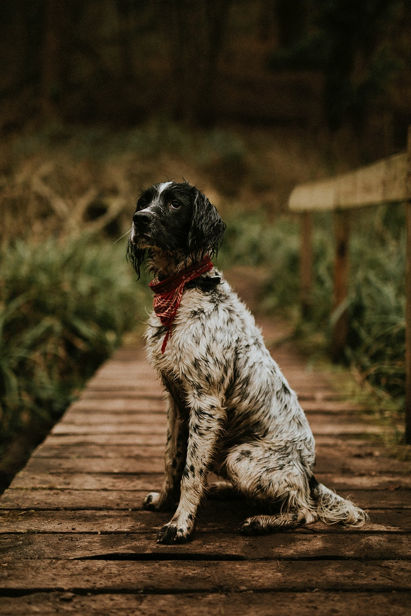 English setter dog in the nature