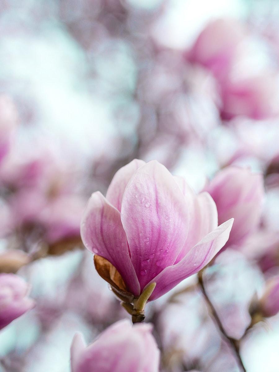 Closeup of pink magnolia flowers