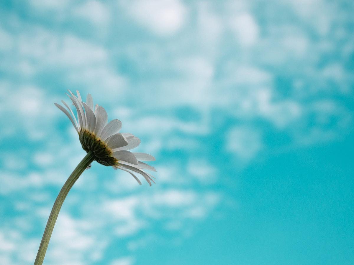 White daisy and blue sky