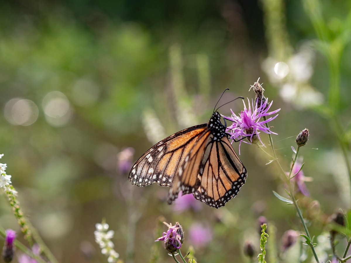 Monarch butterfly on a pink thistle