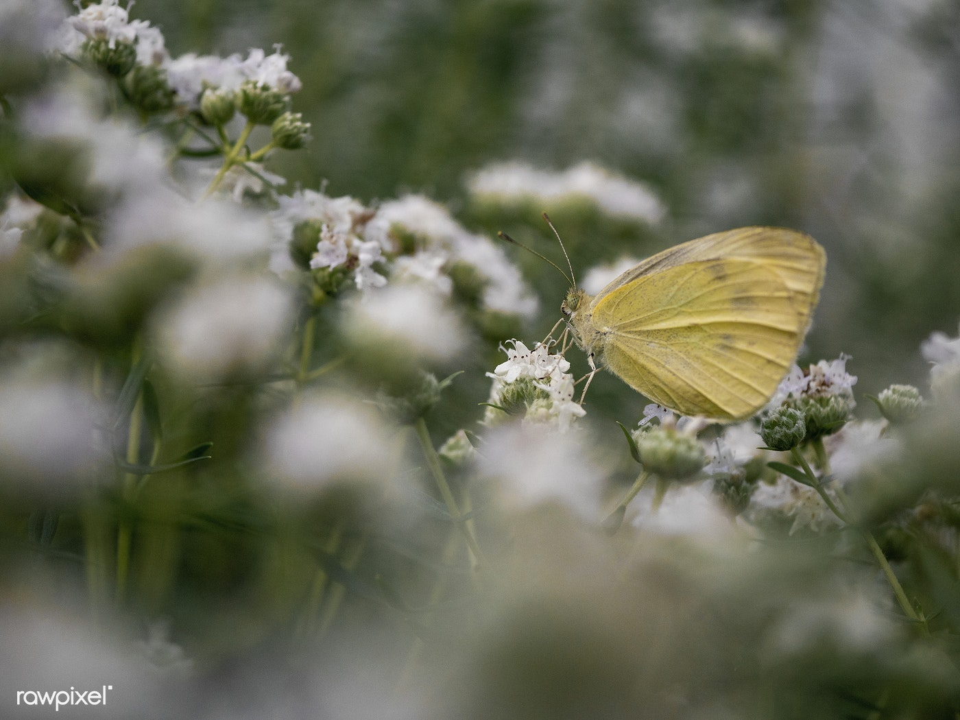 Yellow Butterfly With Tiny White Flowers By Aaron Burden Id 457229