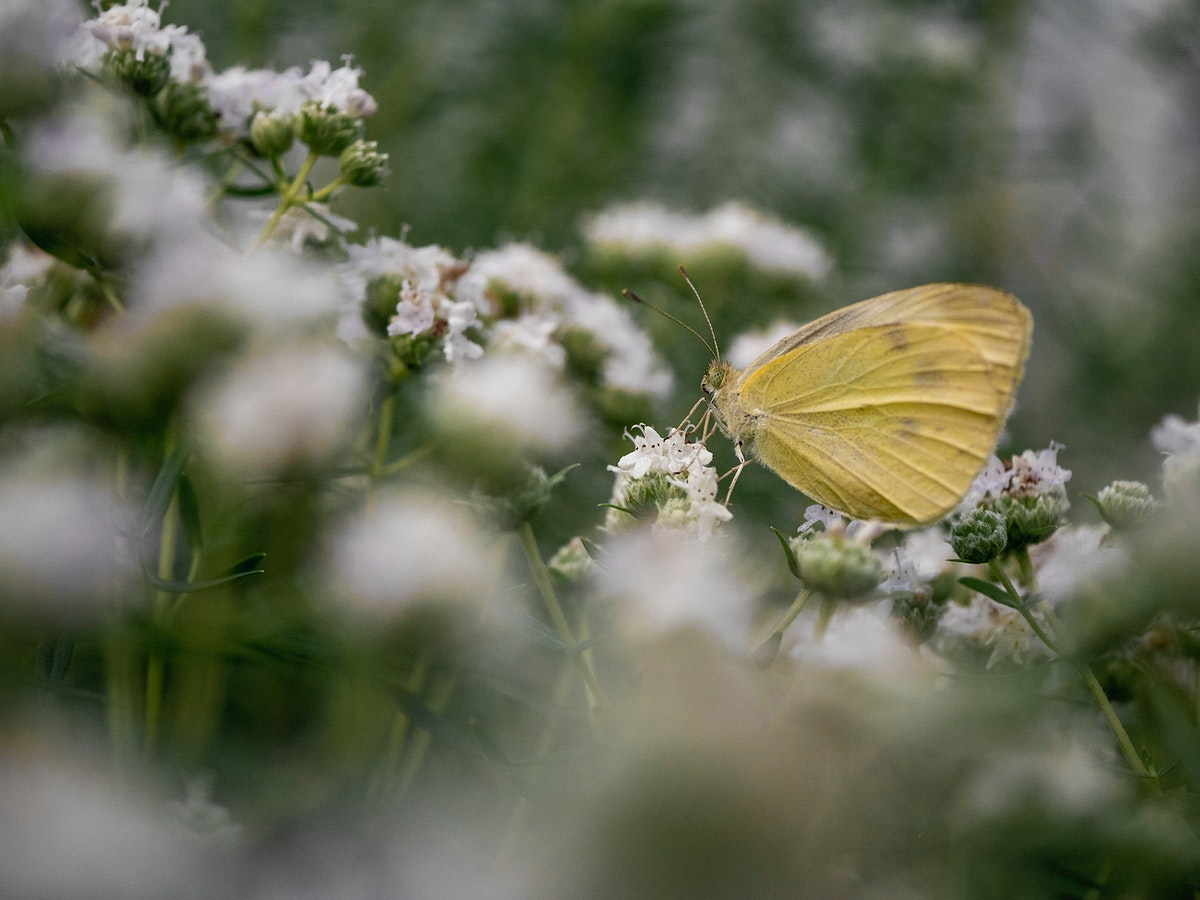 Yellow butterfly with tiny white flowers