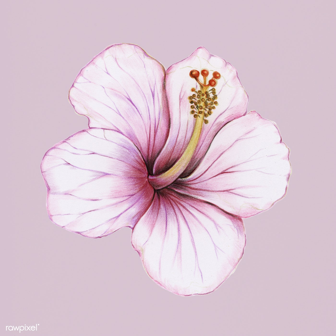 Illustration of an isolated hibiscus flower watercolor style id illustration of an isolated hibiscus flower watercolor style izmirmasajfo