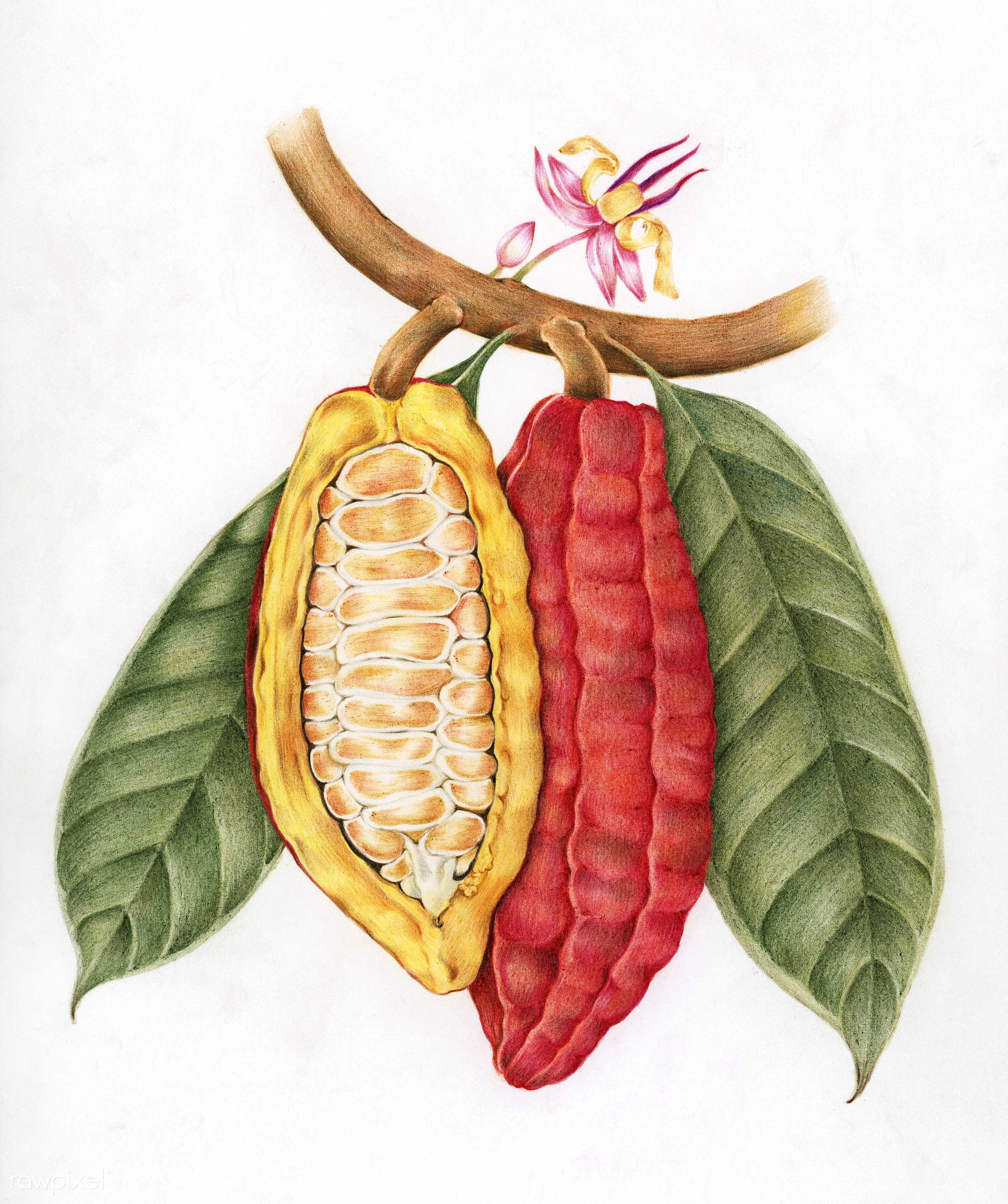 Illustration drawing style of cacao - bitter, cacao, chocolate, cocoa, design, drawing, exotic, flavor, food, fresh, fruit,...