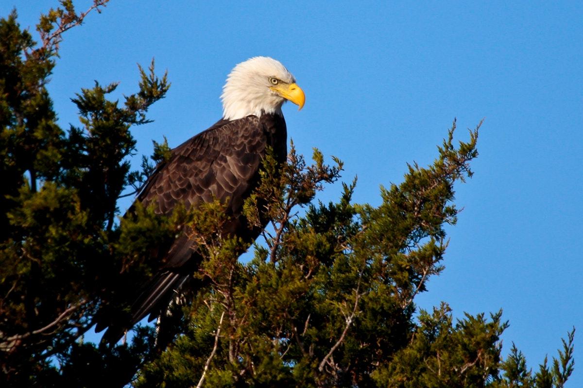 Bald eagle. Original public domain image from Flickr