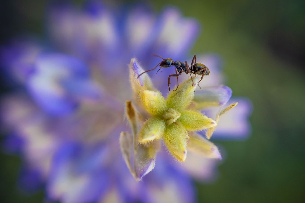 An ant makes its way across the leaves of a Lupine wildflower near Delmoe Lake in Beaverhead-Deerlodge National…