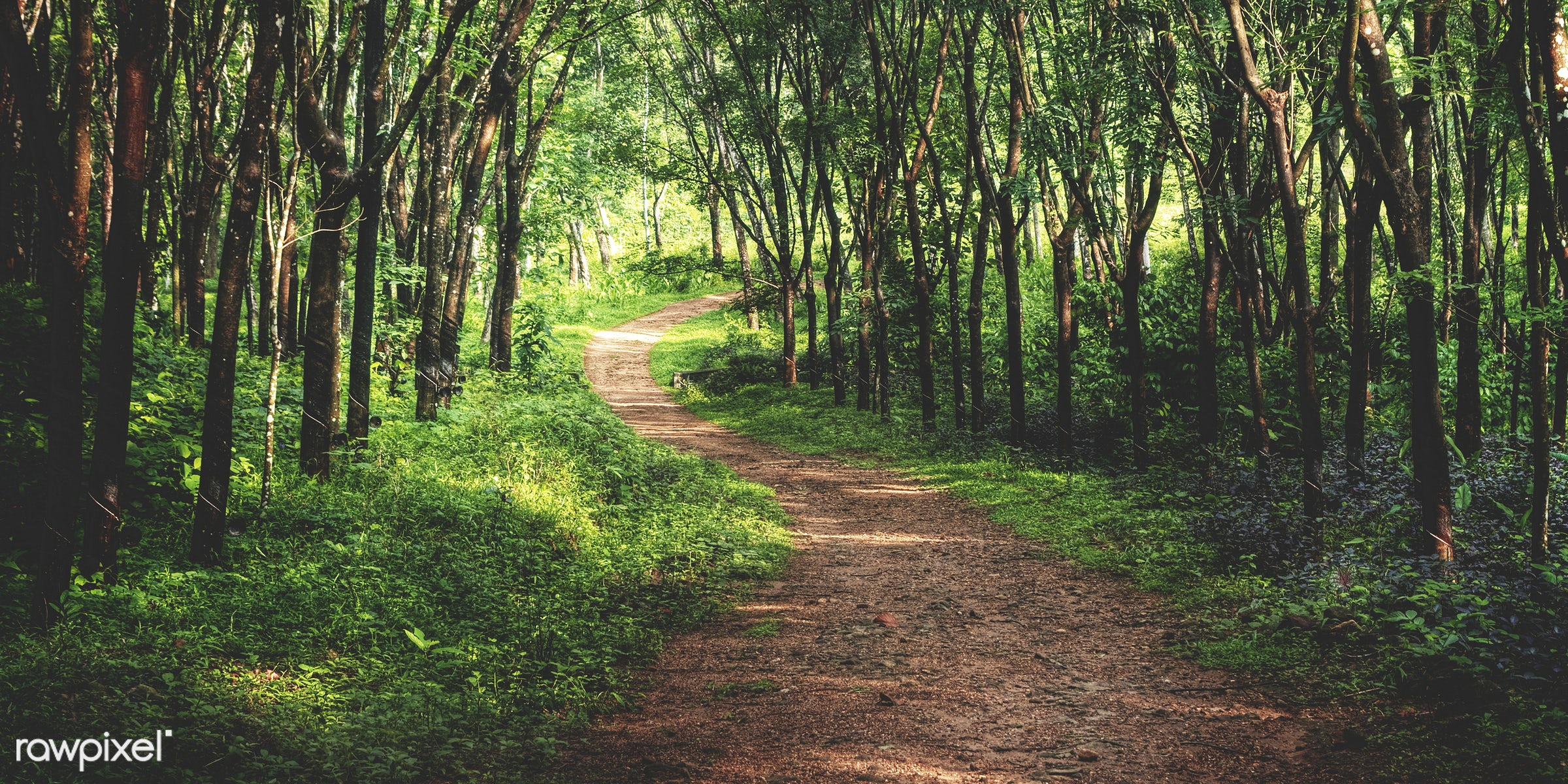 Enchanting forest lane in a rubber tree plantation, Kerela, India. - landscape, beauty in nature, branch, bush, dirt road,...