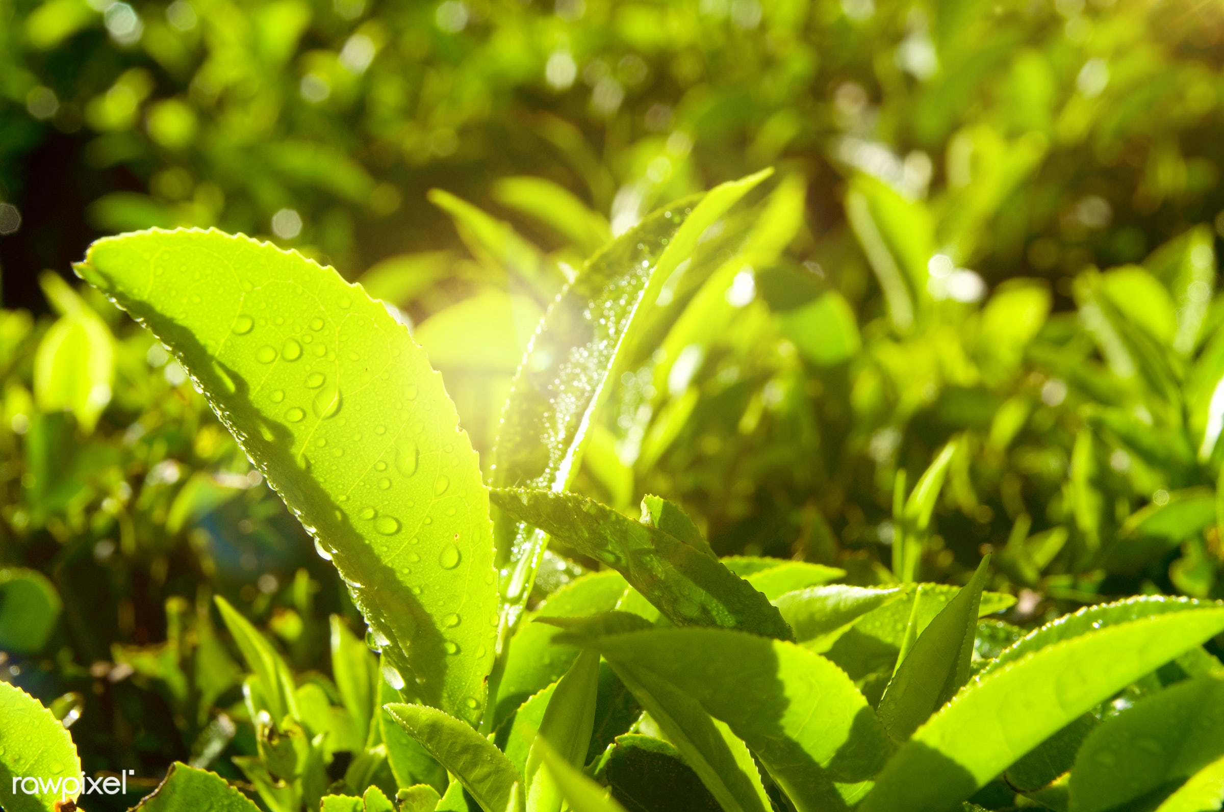 Close up of fresh tea growing on a plantation in India - sunshine, plantation, agriculture, asia, beauty in nature,...
