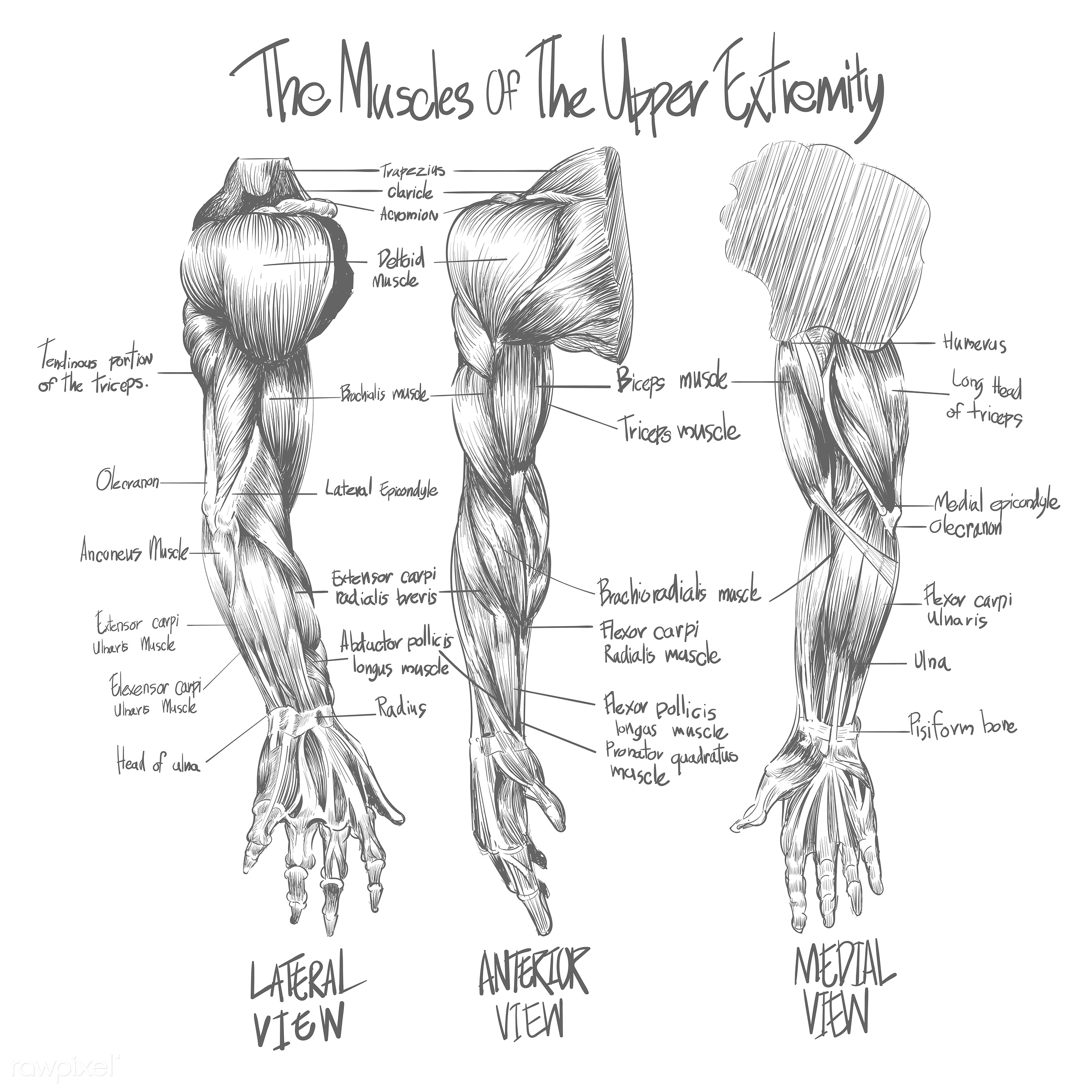 Sketch of Muscular system - doctor, science, sketch, anatomy, anterior, arms, art, biceps, body, drawing, human, knowledge,...