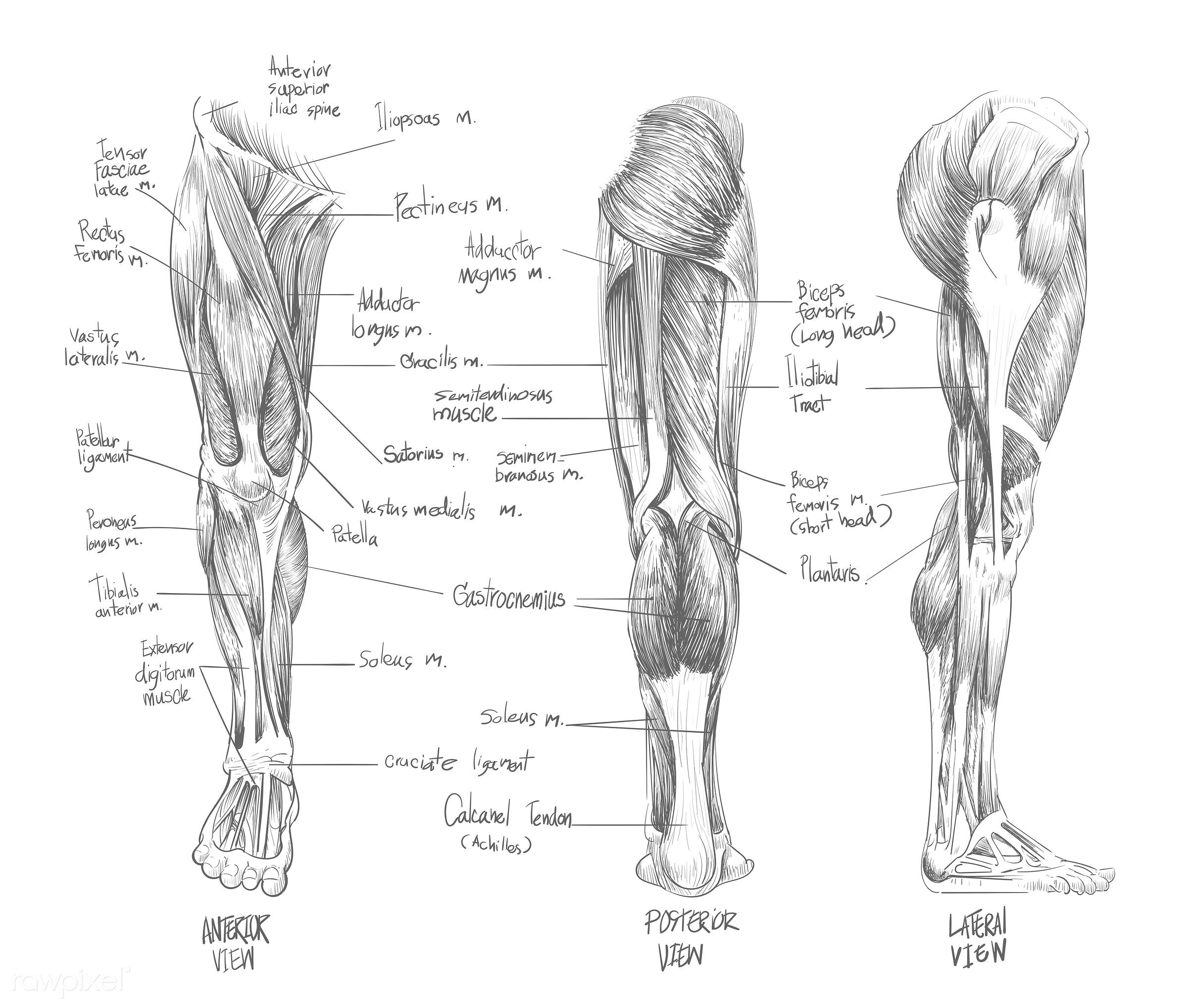 Sketch of Muscular system - body, doctor, human, science, sketch, anatomy, anterior, arms, art, biceps, drawing, knowledge,...