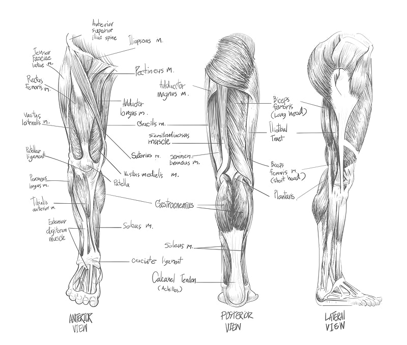 Muscular System Images Rawpixel