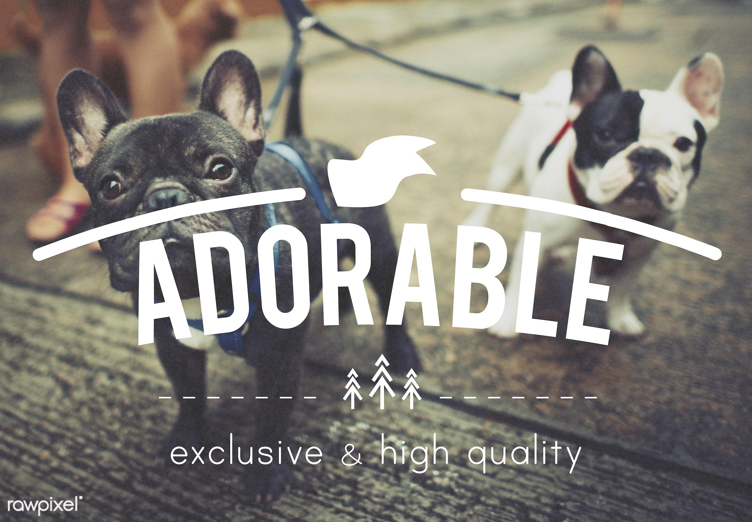 adopt, adopt me, adorable, animal, animals, babies, breed, bulldog, care, cute, dog, exclusive, french bulldog, friends, fun...