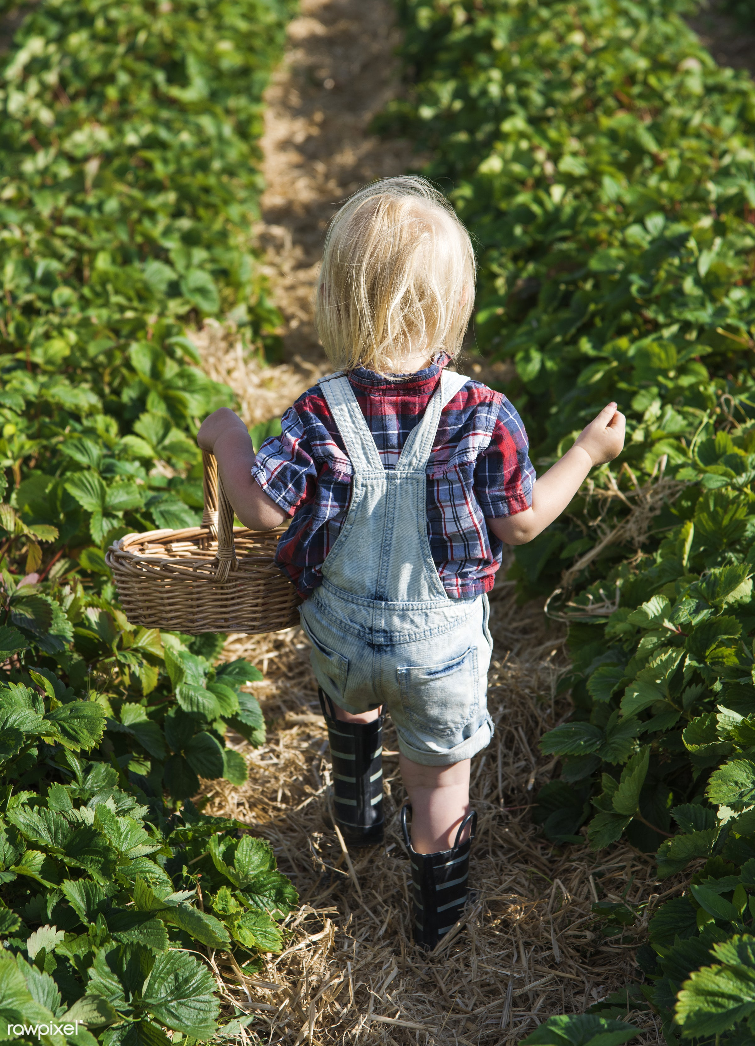 Kid in strawberry farm - alone, backyard, botany, boy, caucasian, countryside, cultivate, farm, field, fresh, fruit, garden...